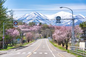 empty road with cherry bloosoms on either side and snow mountains in the background