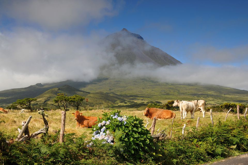 Cows beneath the volcano, Ponta do Pico, Island of Pico, Azores, Portugal