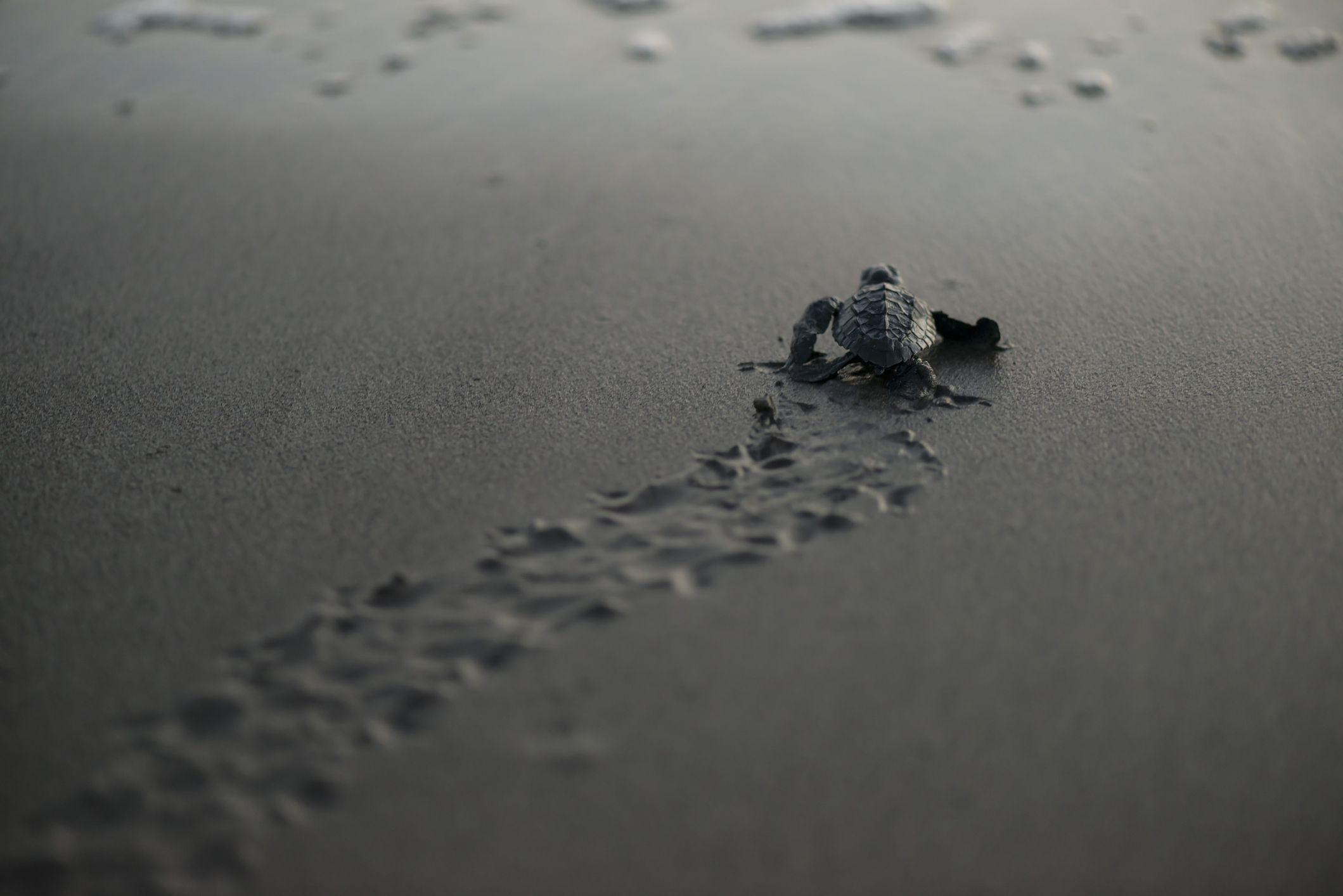 One new born sea turtle heading over the sandy beach to the sea. San Salvador