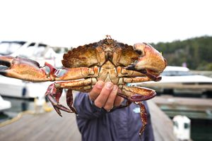 Close-up Of Girl Holding Red Rock Crab In Roche Harbor On San Juan Island