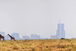 Giraffes and skyscrapers, Nairobi's Skyline