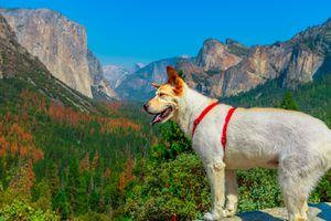 white dog looking Tunnel View at Yosemite