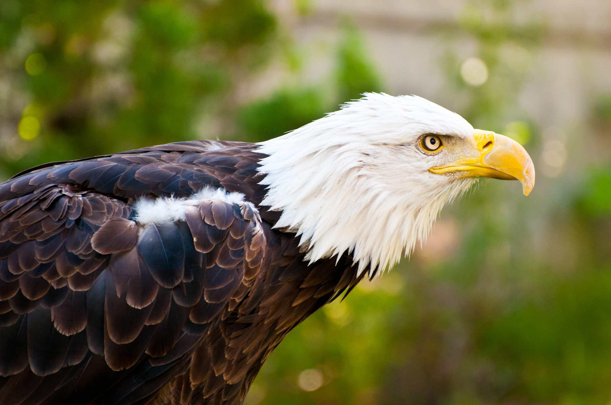 Hogle zoo Bald Eagle