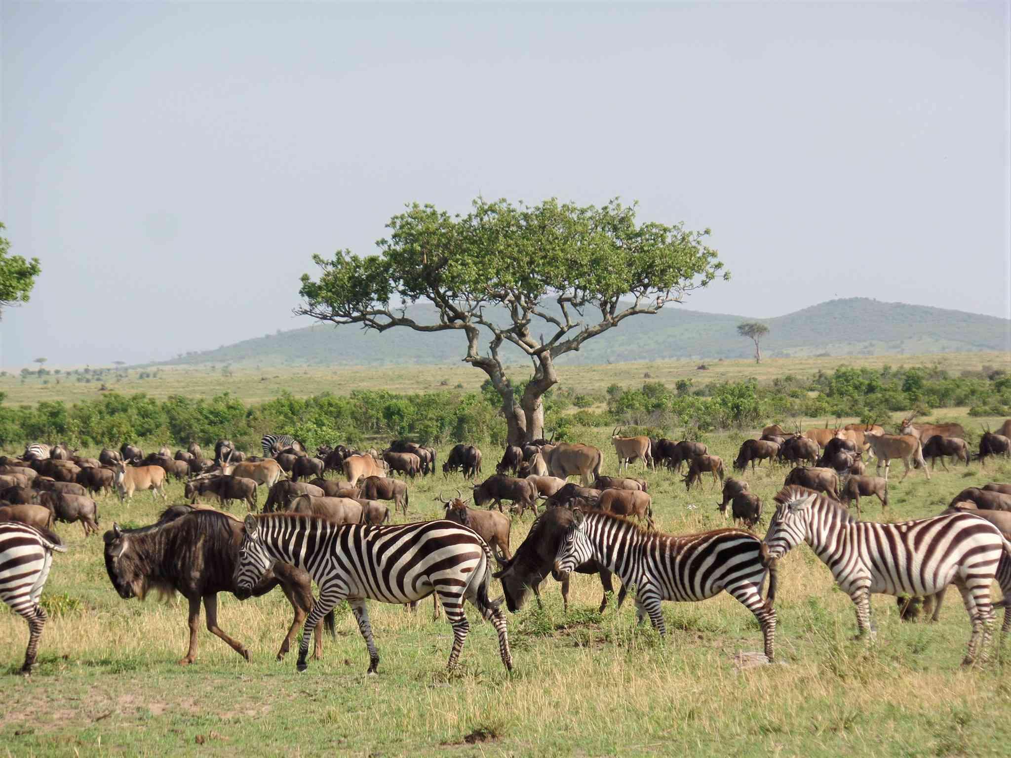 Photo of a heard of buffalo and zebra in Kenya