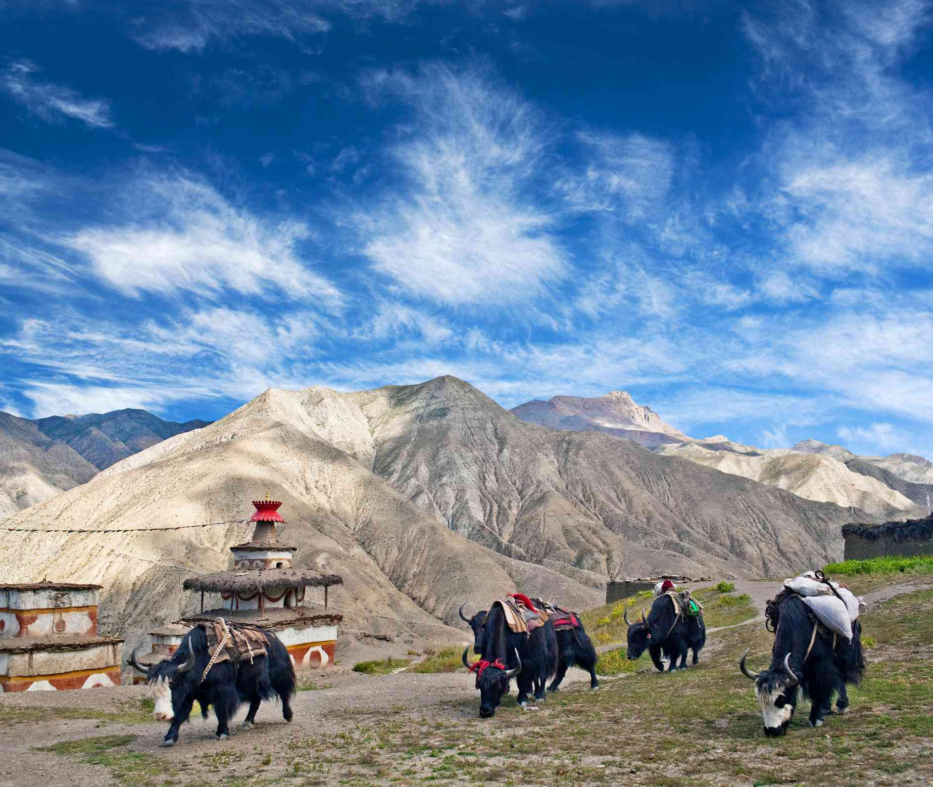 brown mountains with black yaks in foreground and ancient Buddhist stupas