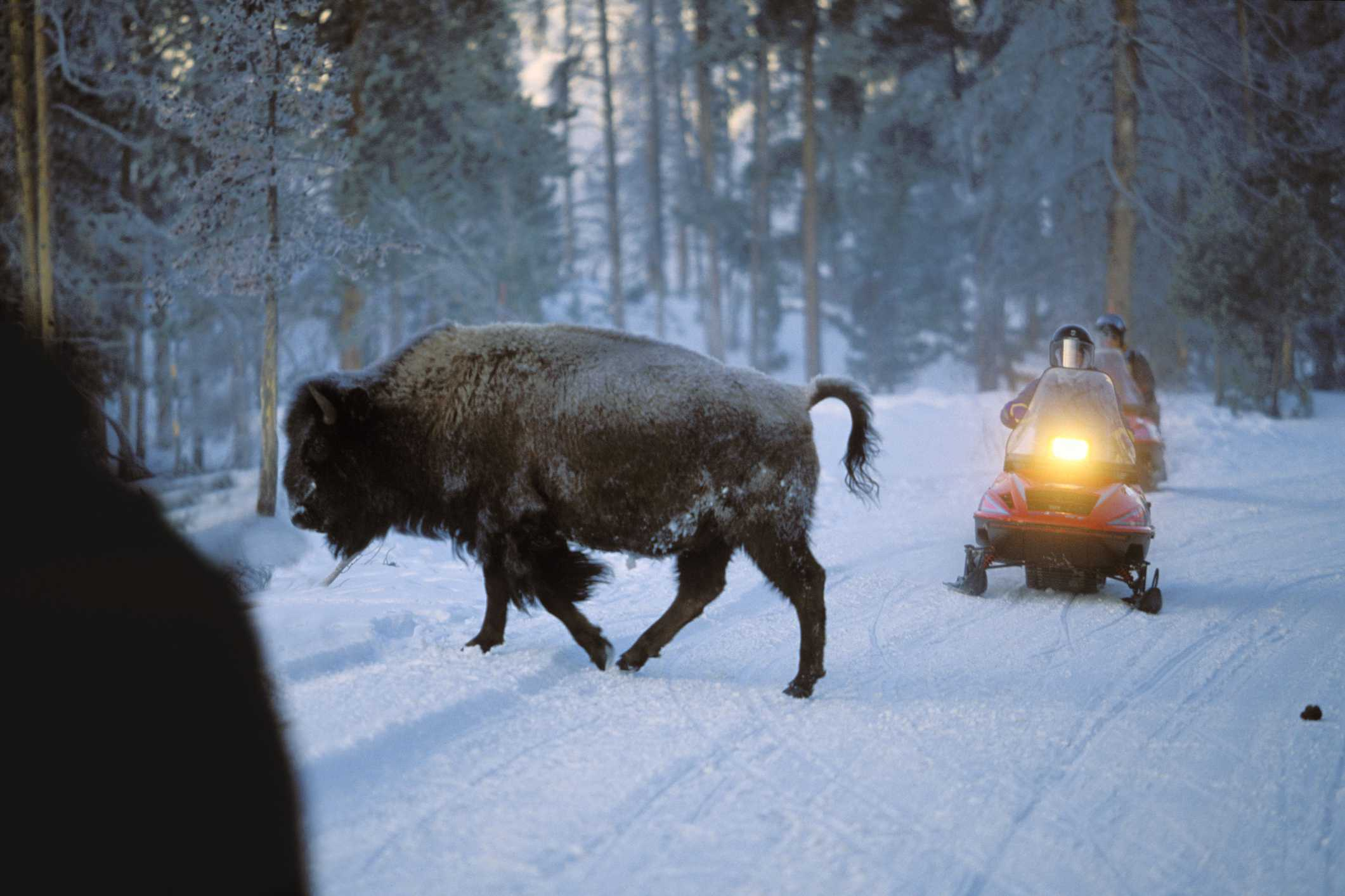 'Bison crossing road in front of snowmobile, Yellowstone National Park, Wyoming, USA, America'