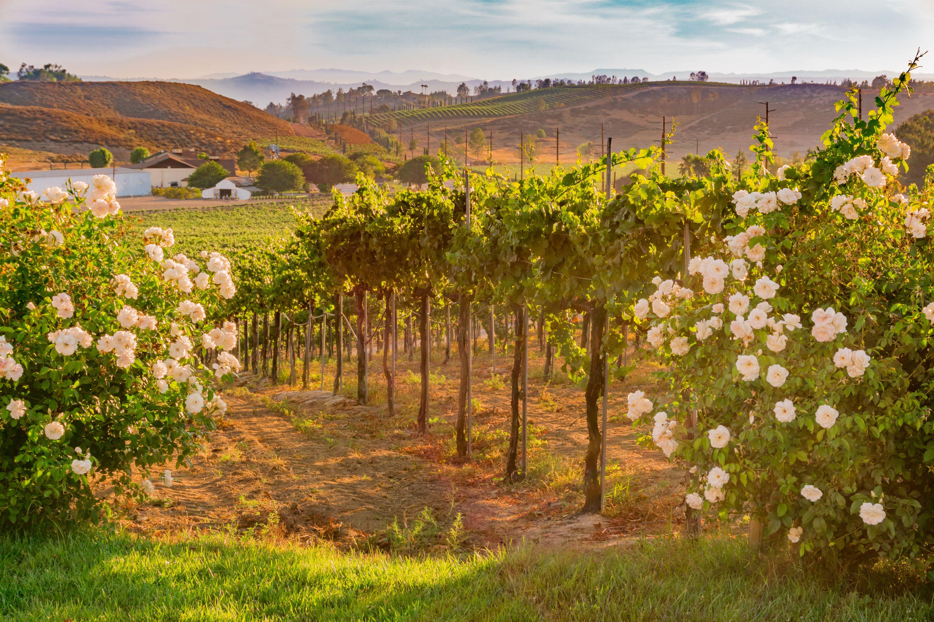 California Vineyard at Dusk with white roses (P)