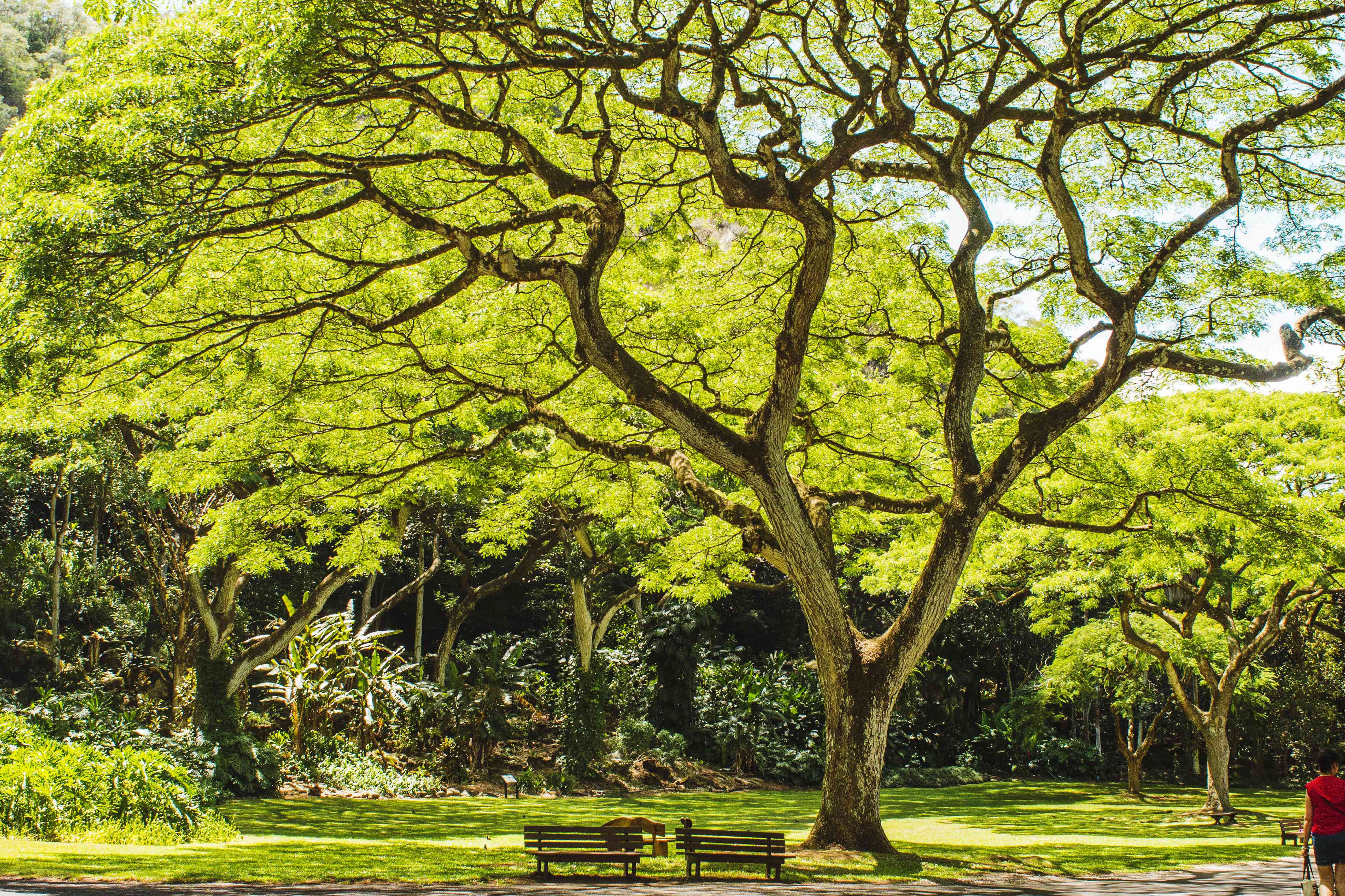 Benches under large green tree in Waimea Valley