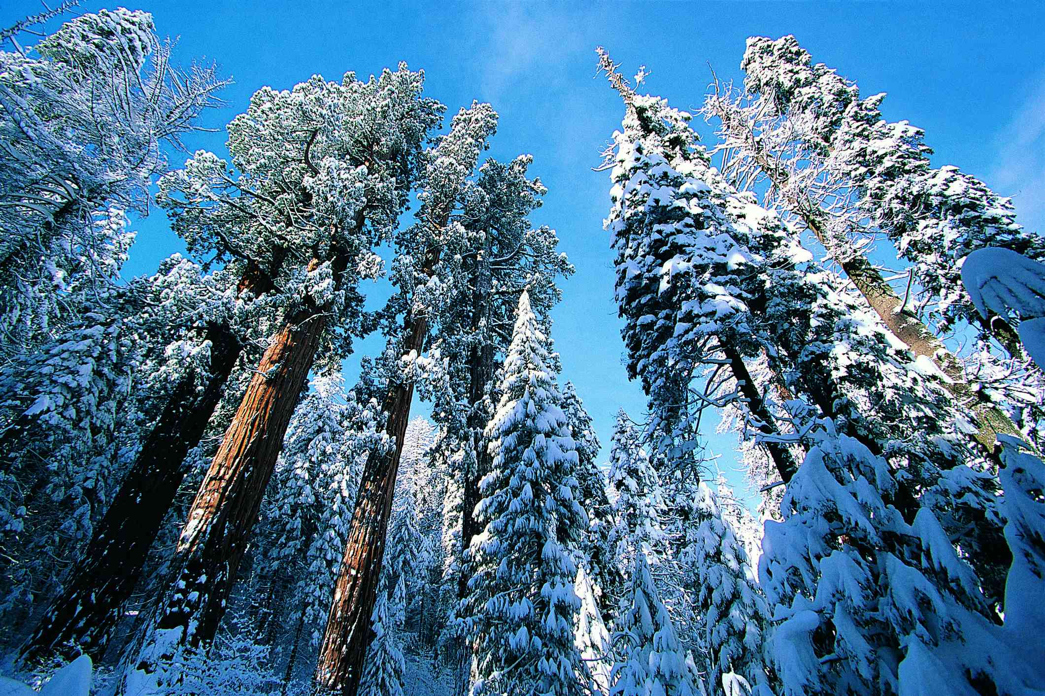 low angle view of snow-covered Giant Redwoods in winter, Sequoia National Park, California, USA