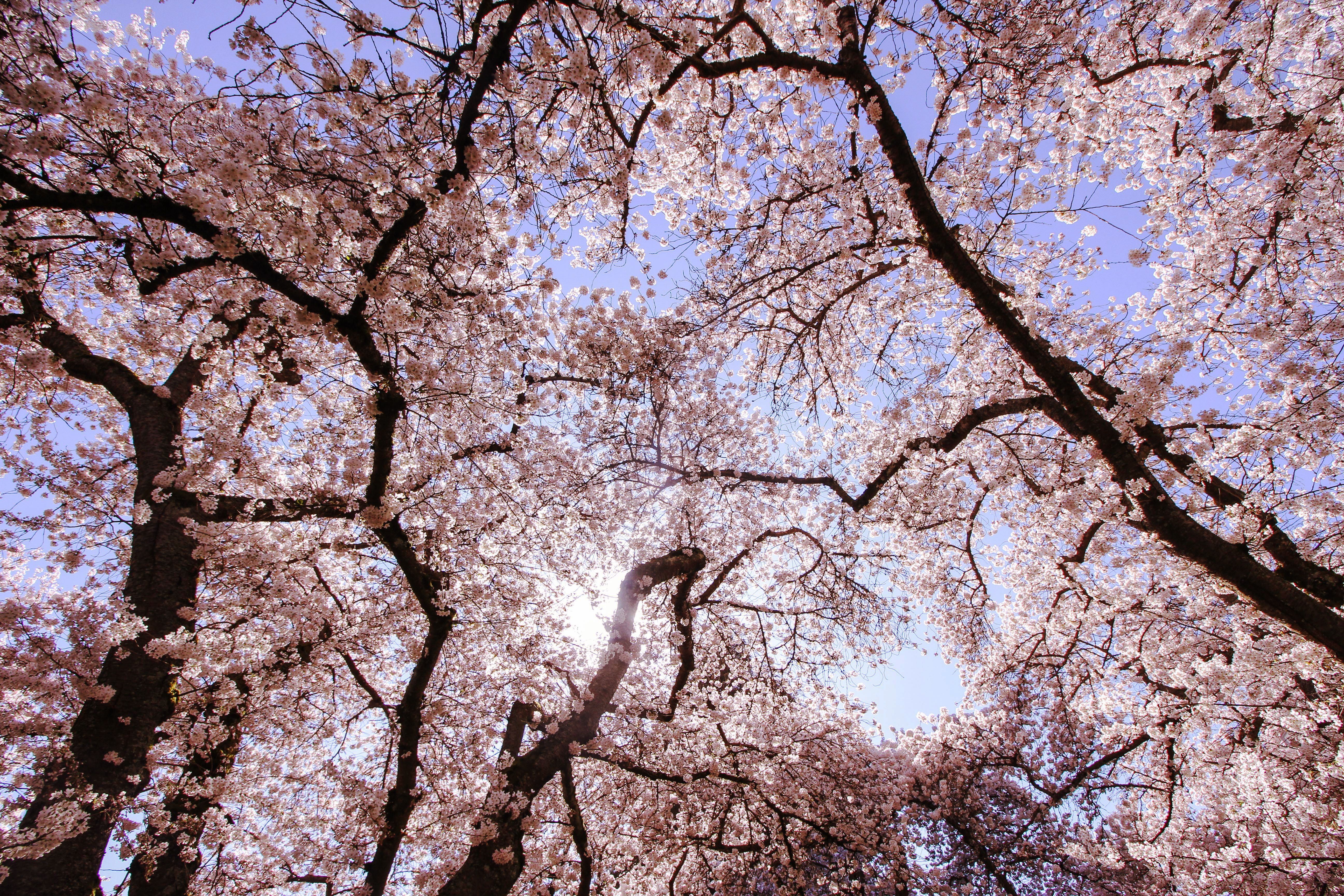 Cherry Blossoms at University of Washington