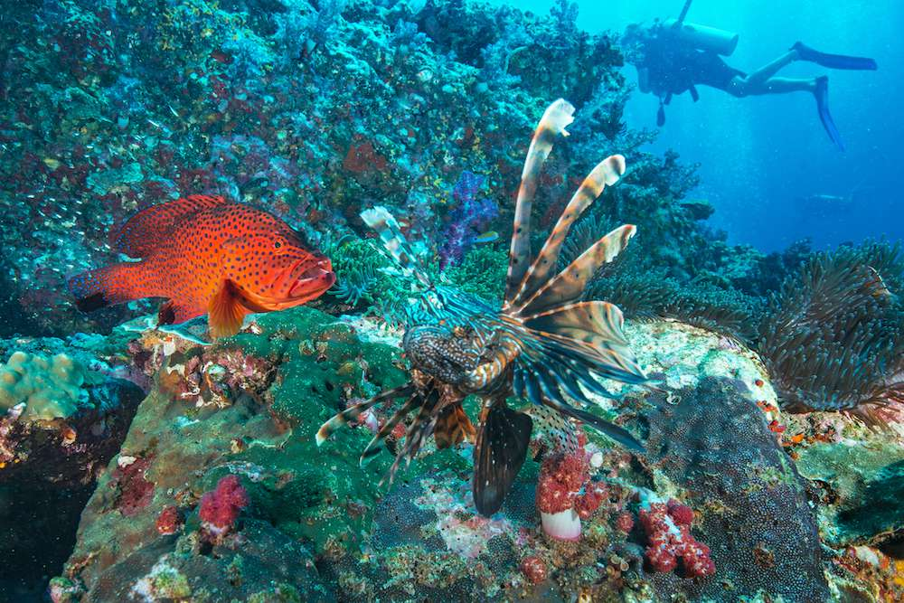 A diver swims near a lionfish in clear blue waters