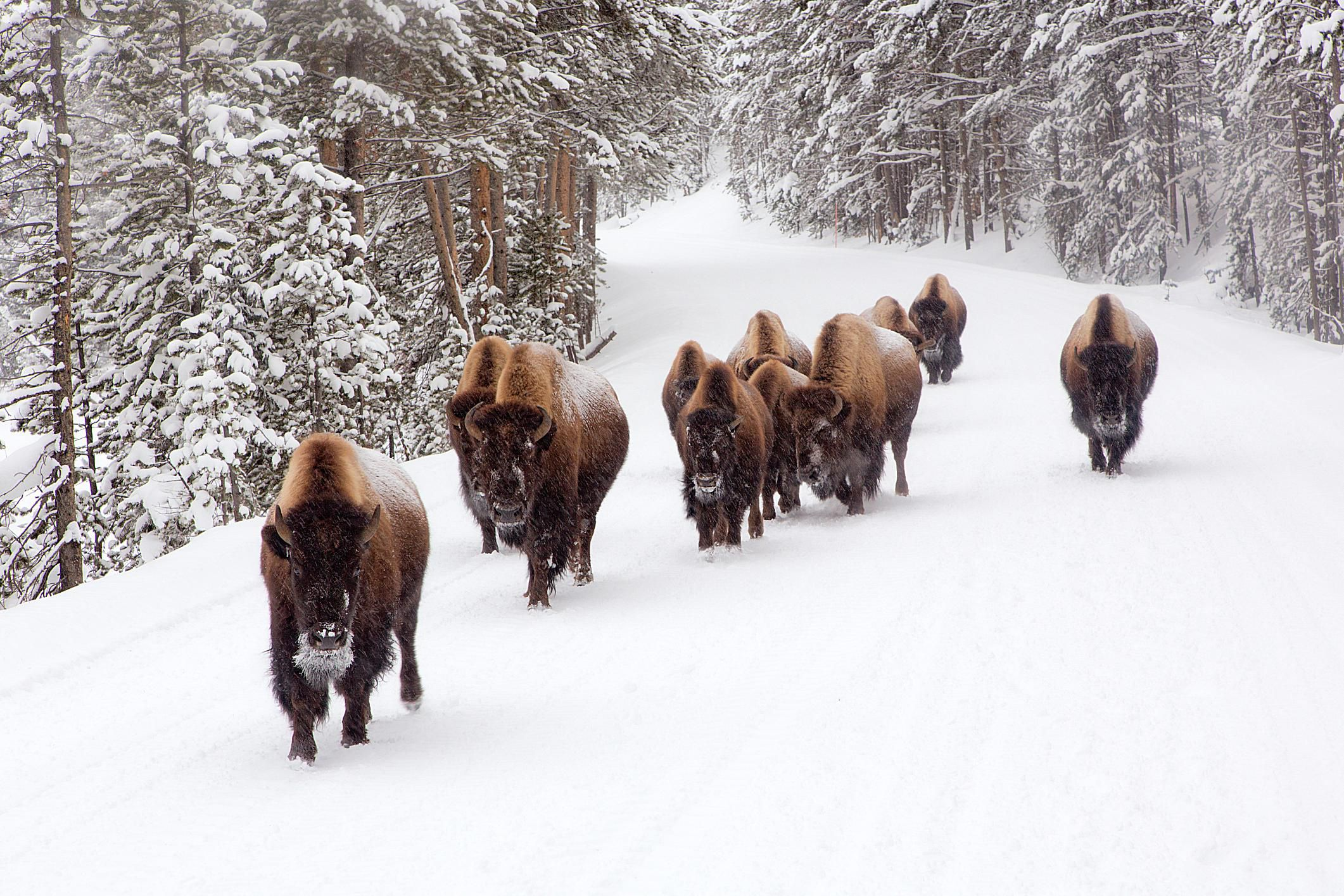 Bison in the Winter at Yellowstone