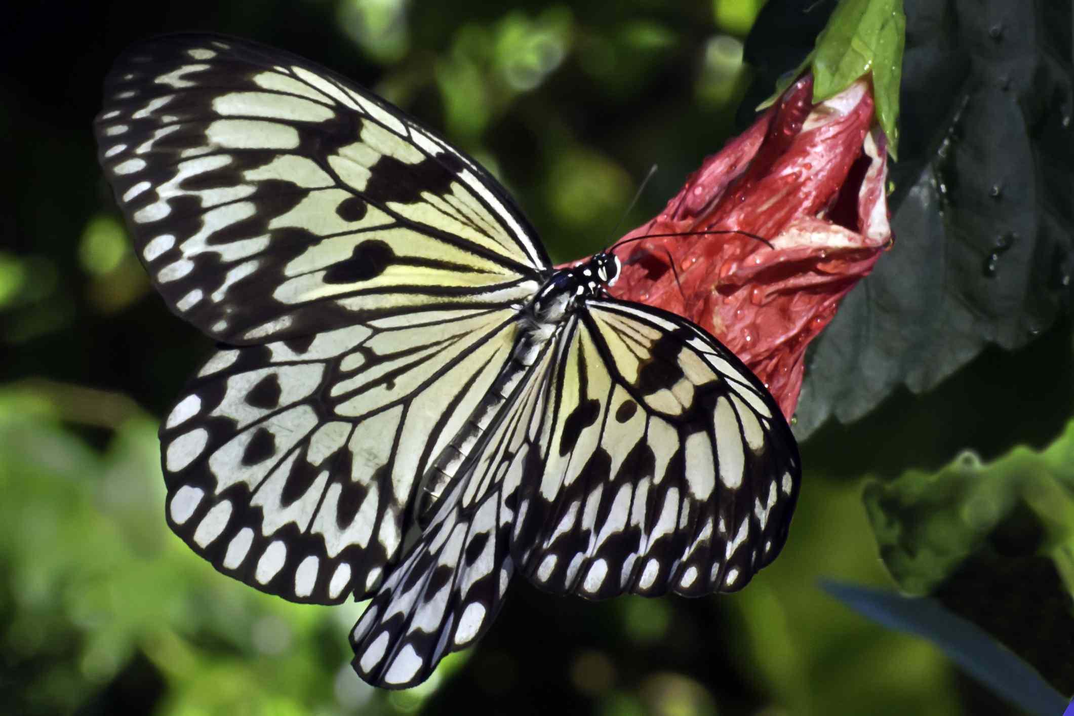 black and white Tree Nymph (Idea Leuconoe) at the Aruba Butterfly Farm