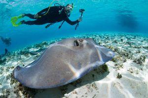 A scuba diver watches a stingray.