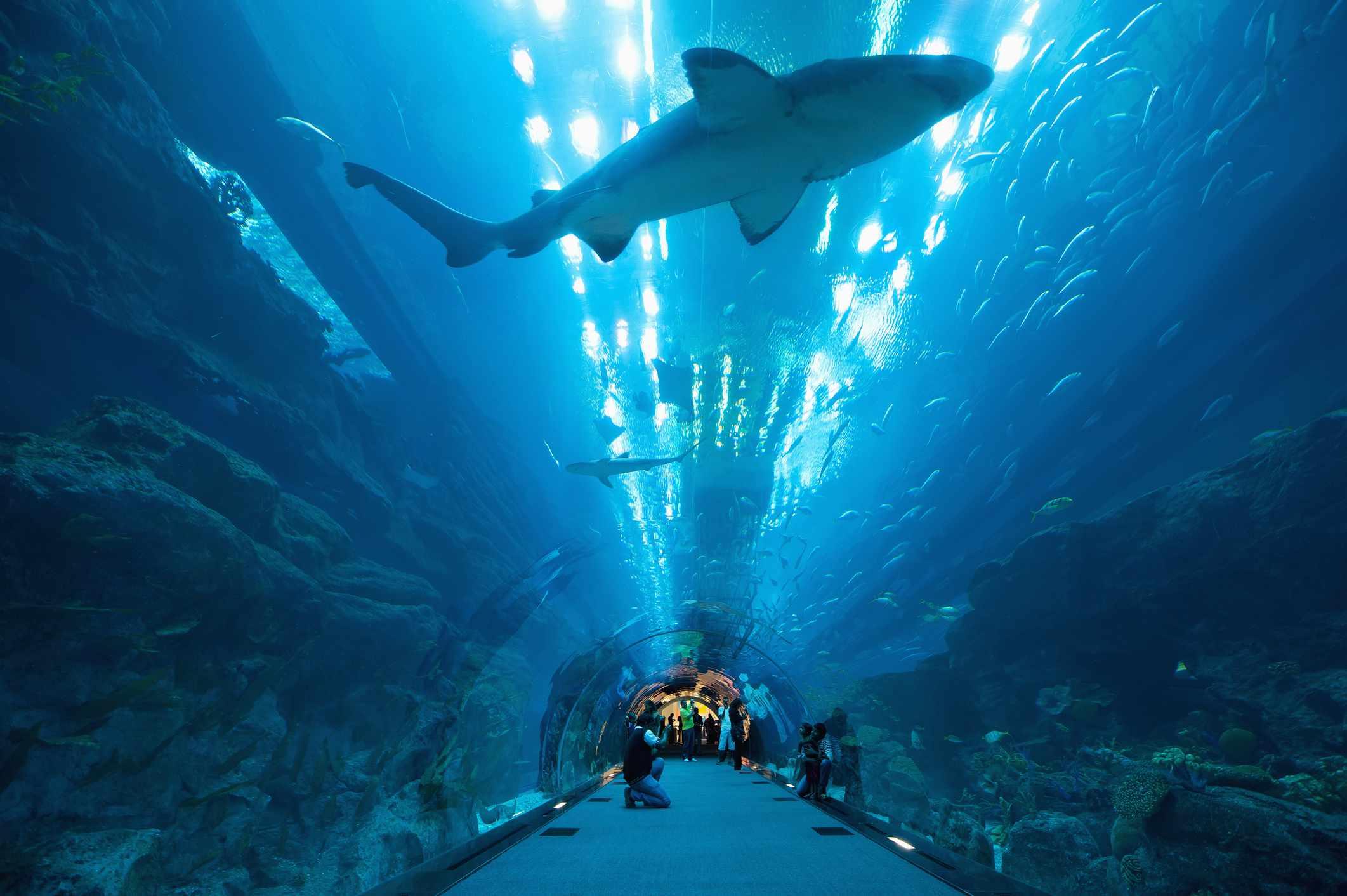 Sharks Swimming Above People In Tunnel, Dubai Mall Aquarium; Dubai, United Arab Emirates