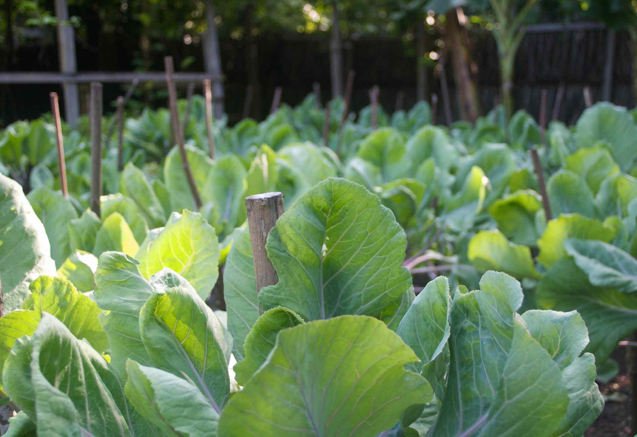 Organic garden at Soneva Fushi in the Maldives