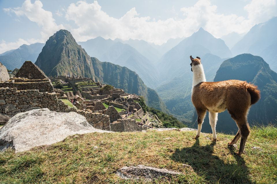 Llama overlooking ruins of the ancient city of Machu Picchu, Peru