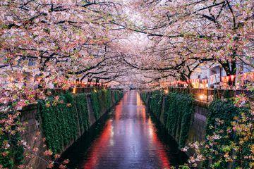 Sakura blooming at Meguro River, Tokyo