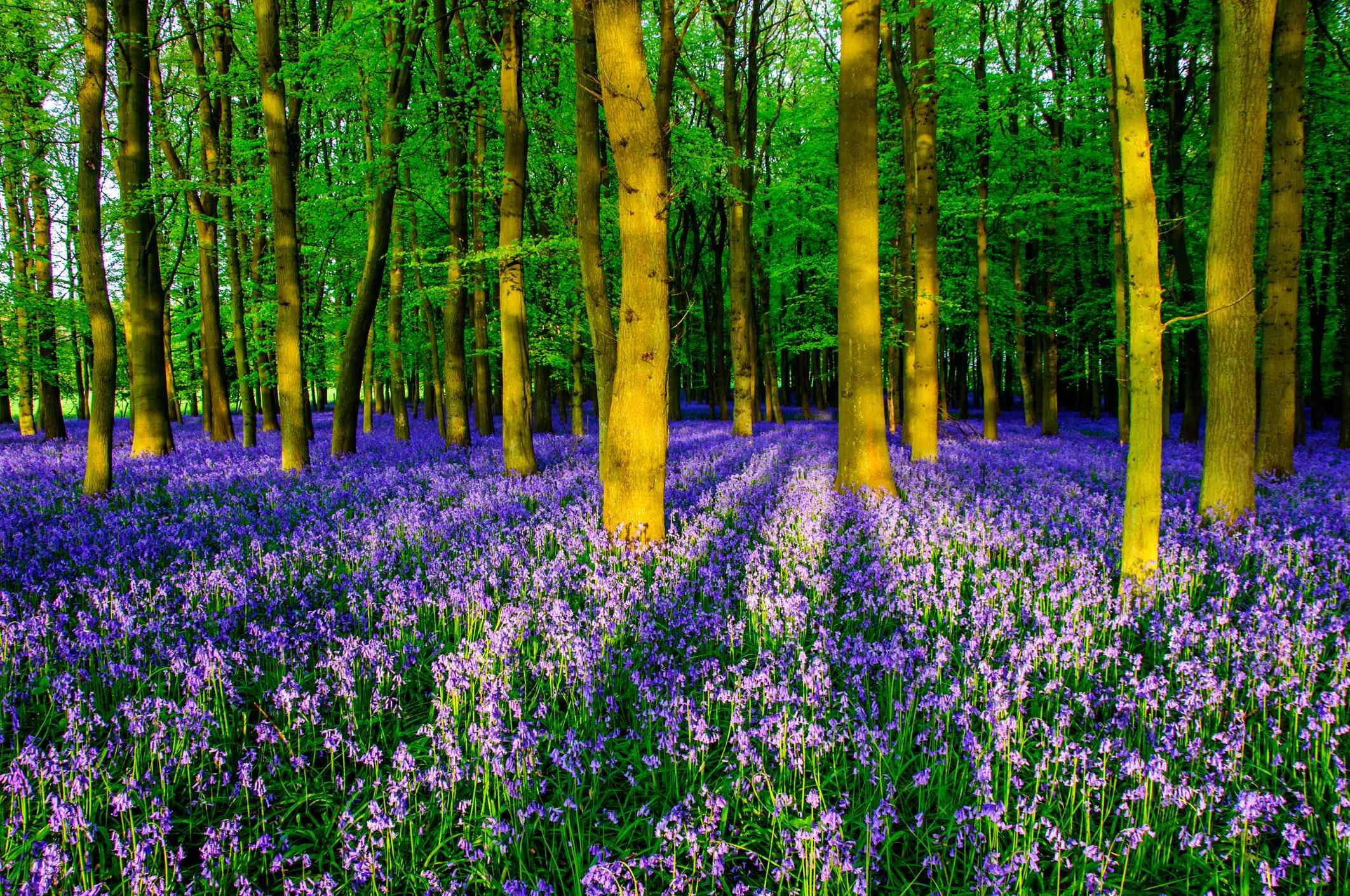 Bluebells in Dockey Wood