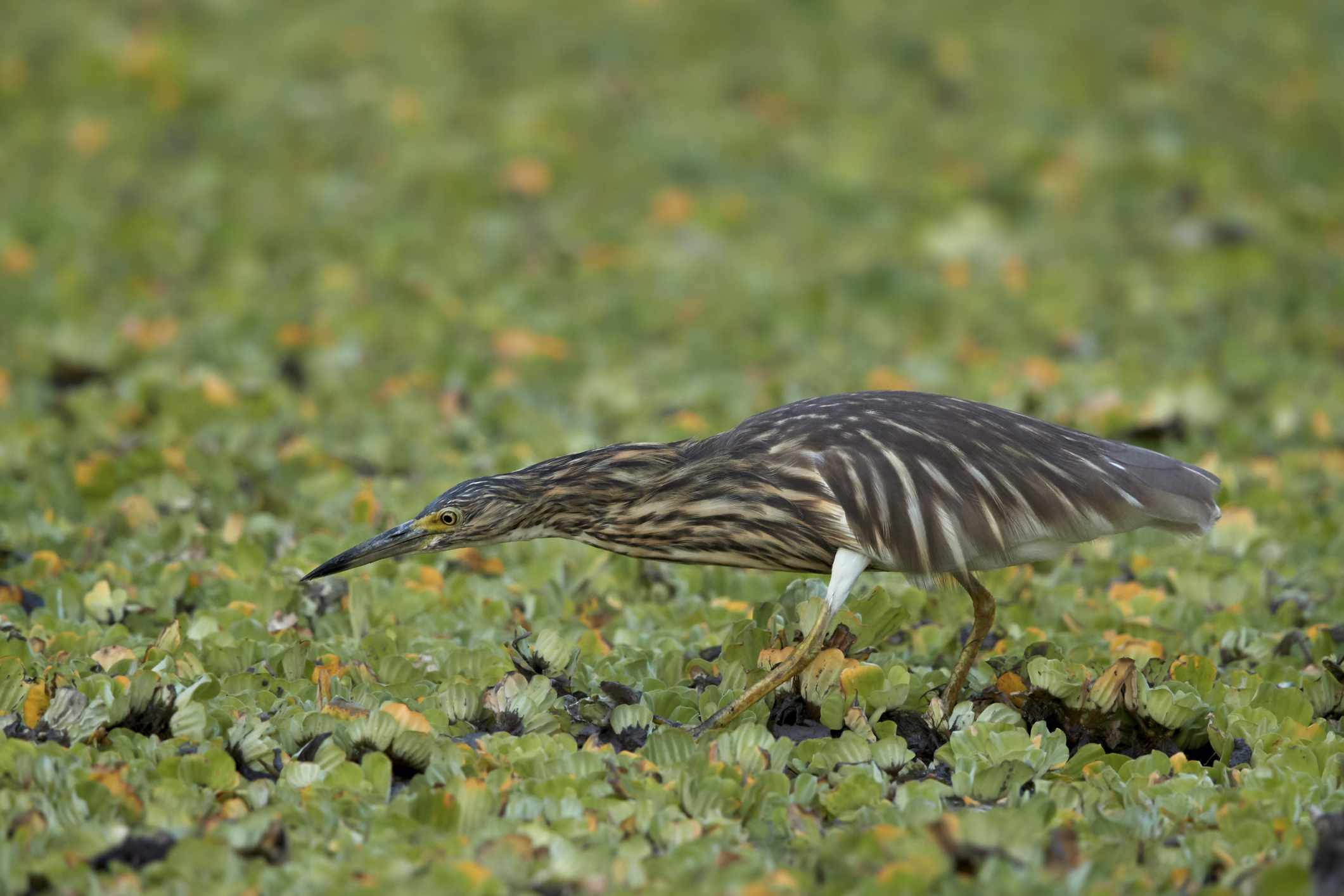 Malagasy pond heron