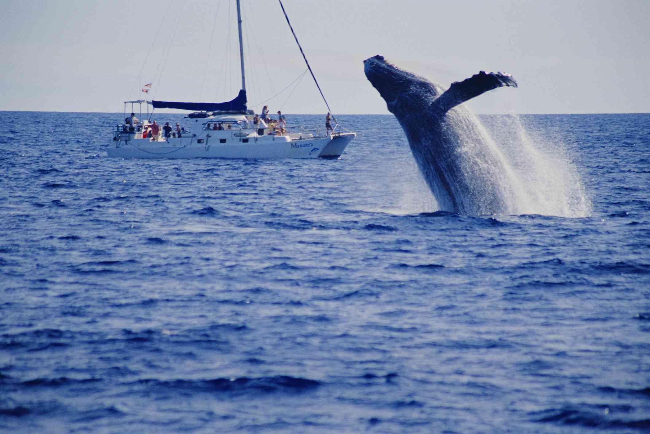 Maui, Canal Lanai, vista de la violación de la ballena con el fondo del barco de observación de ballenas (Megaptera novaeangliae)
