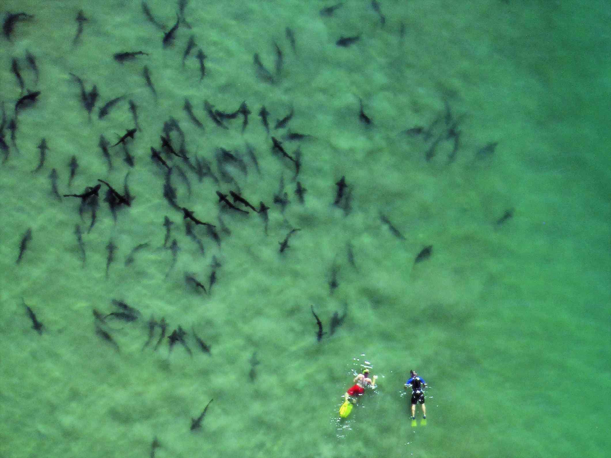 Leopard sharks in La Jolla