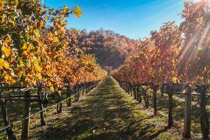 Vineyards in Virginia During Autumn
