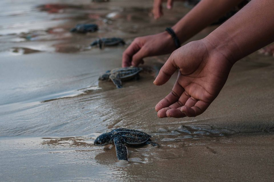 people releasing leatherback turtles on the beach