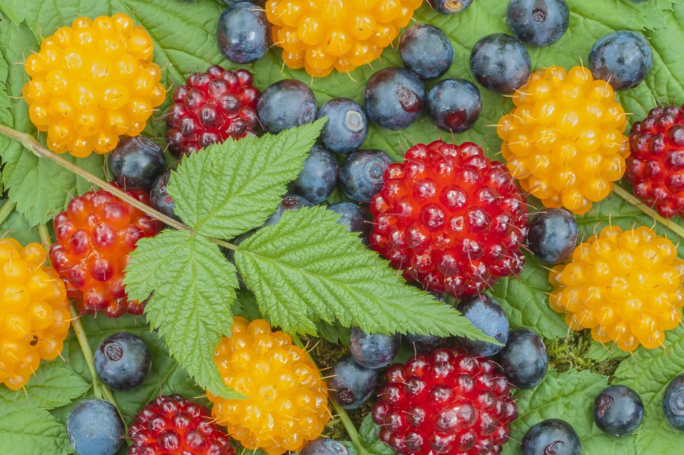 Closeup of assortment of wild blueberries and salmon berries on leaves