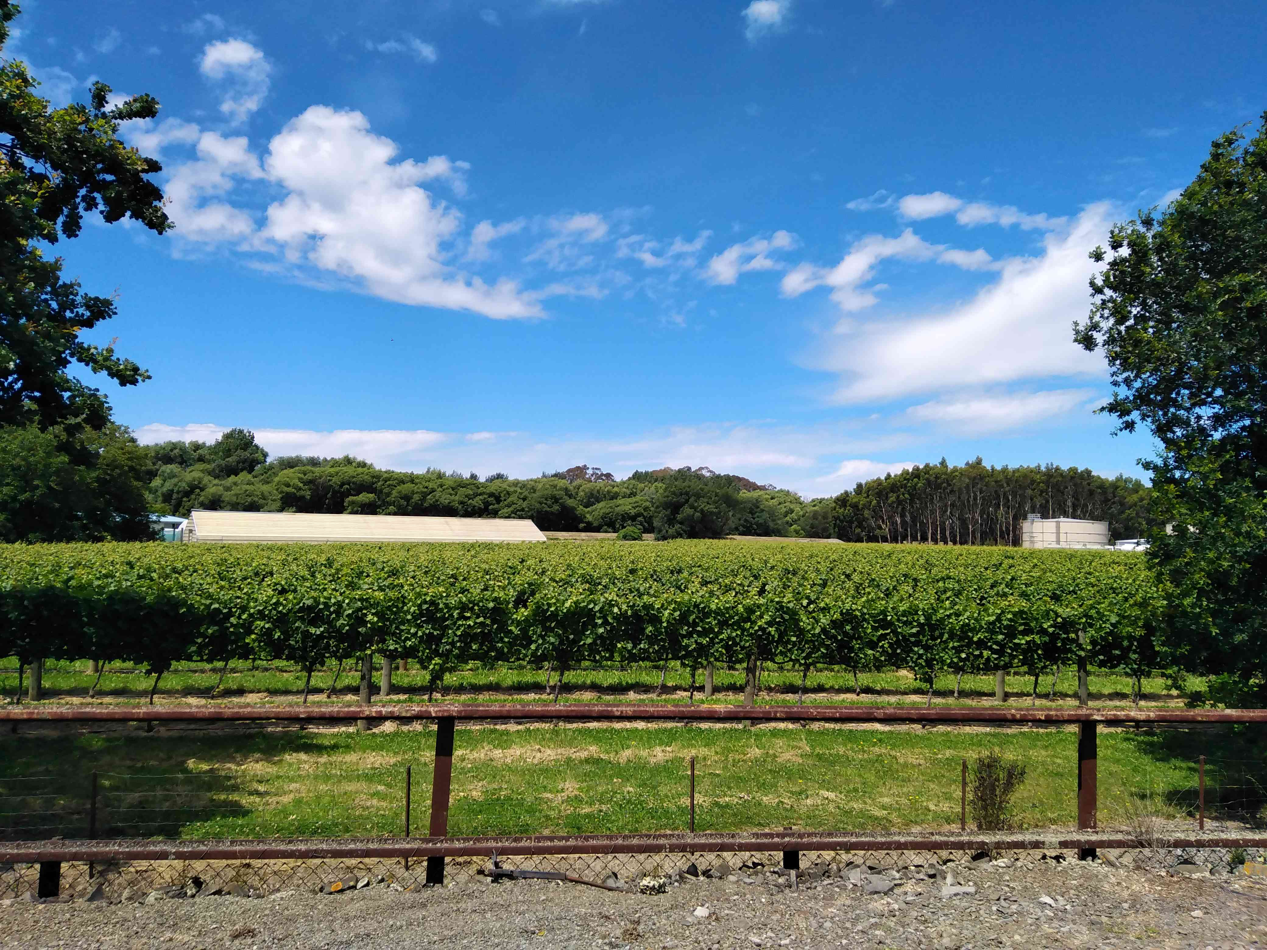 green vineyards in a field with blue sky above