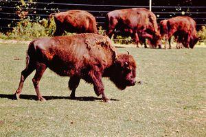 Alta Vista Bison Farm
