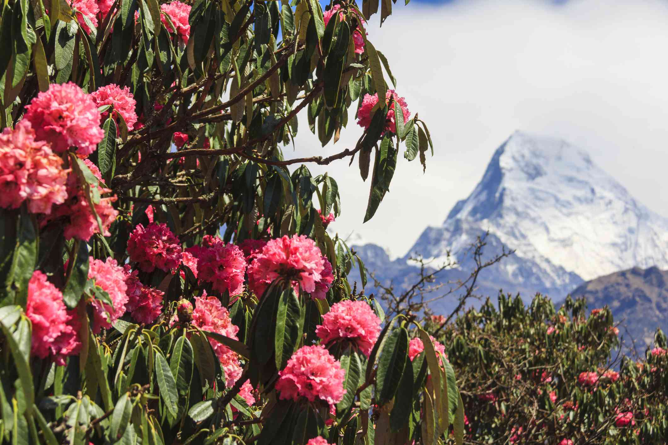 Pink Rhododendron, flower of Nepal, and Annapurna mountain view in background.
