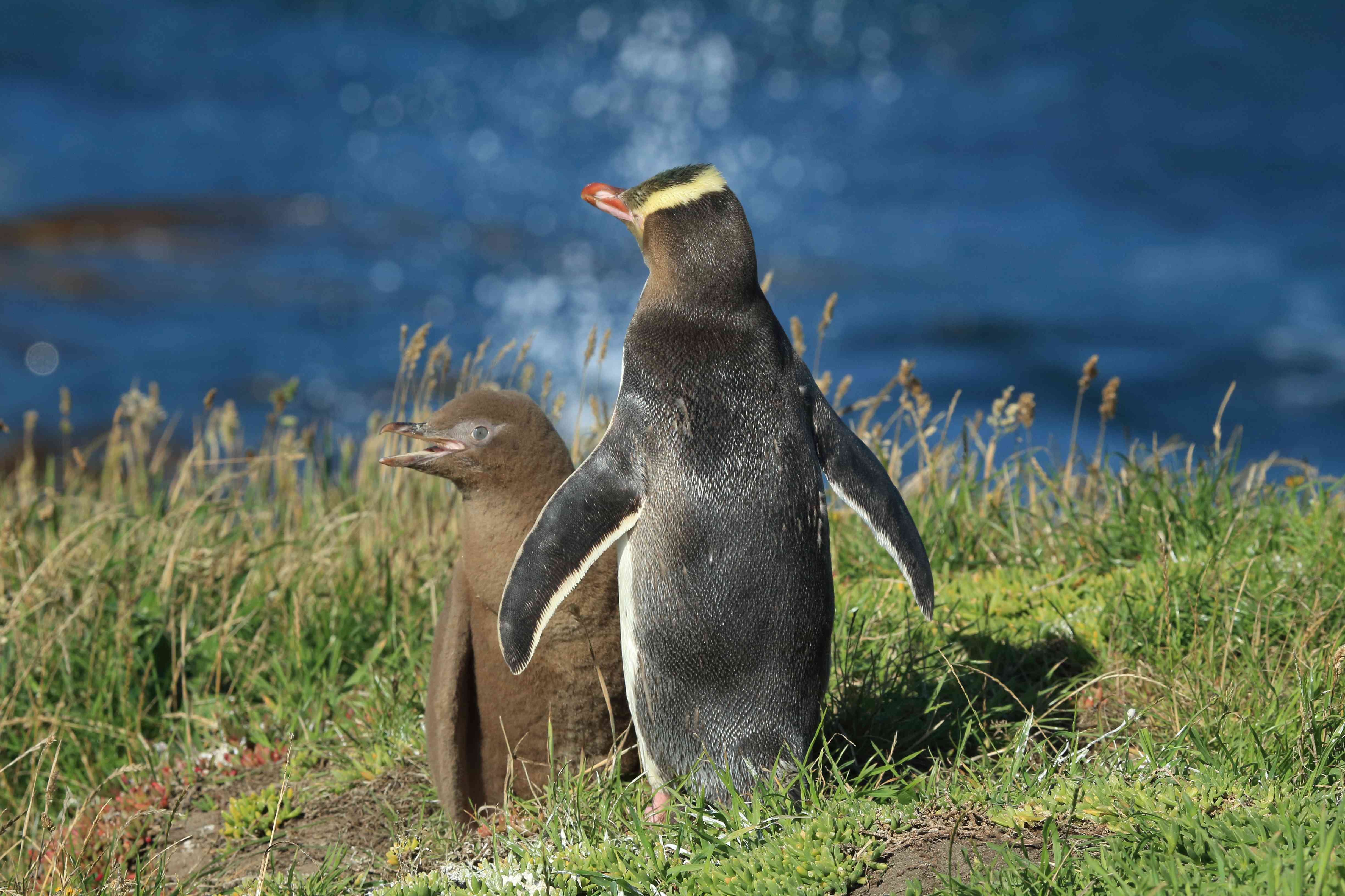 yellow-eyed penguin adult and baby standing in grass
