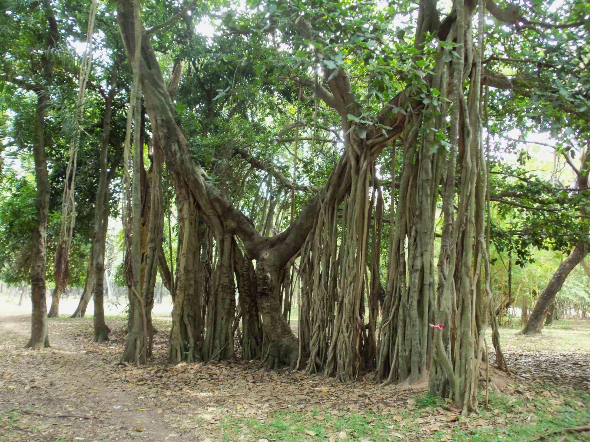 Tree in the Botanical Garden of Asuncion