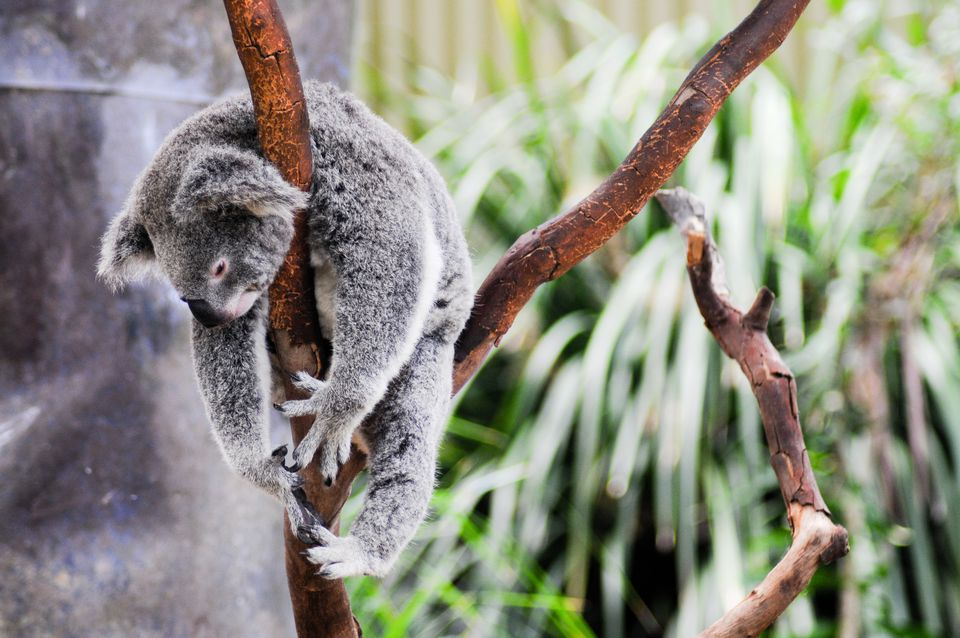Lazy koala hanging around in tree