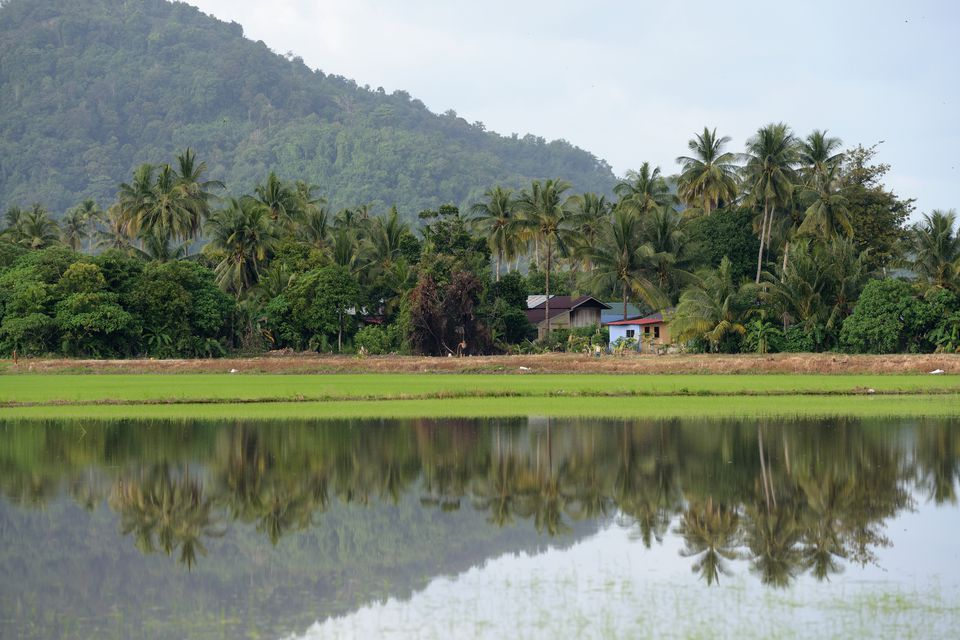 Rice paddy in Balik Pulau Rice paddy reflection in Penang Island, Malaysia