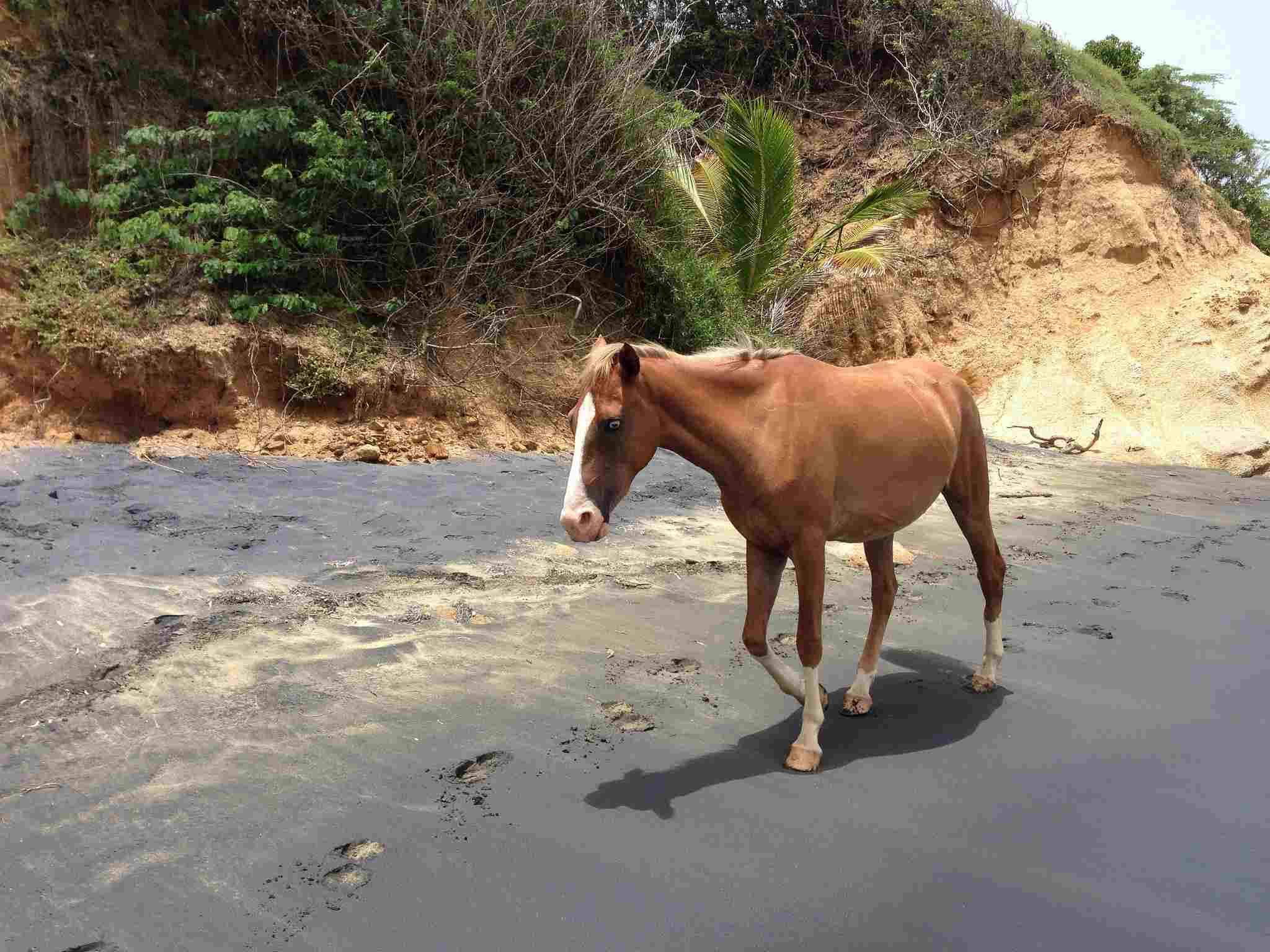 Horse on Playa Negra, Vieques