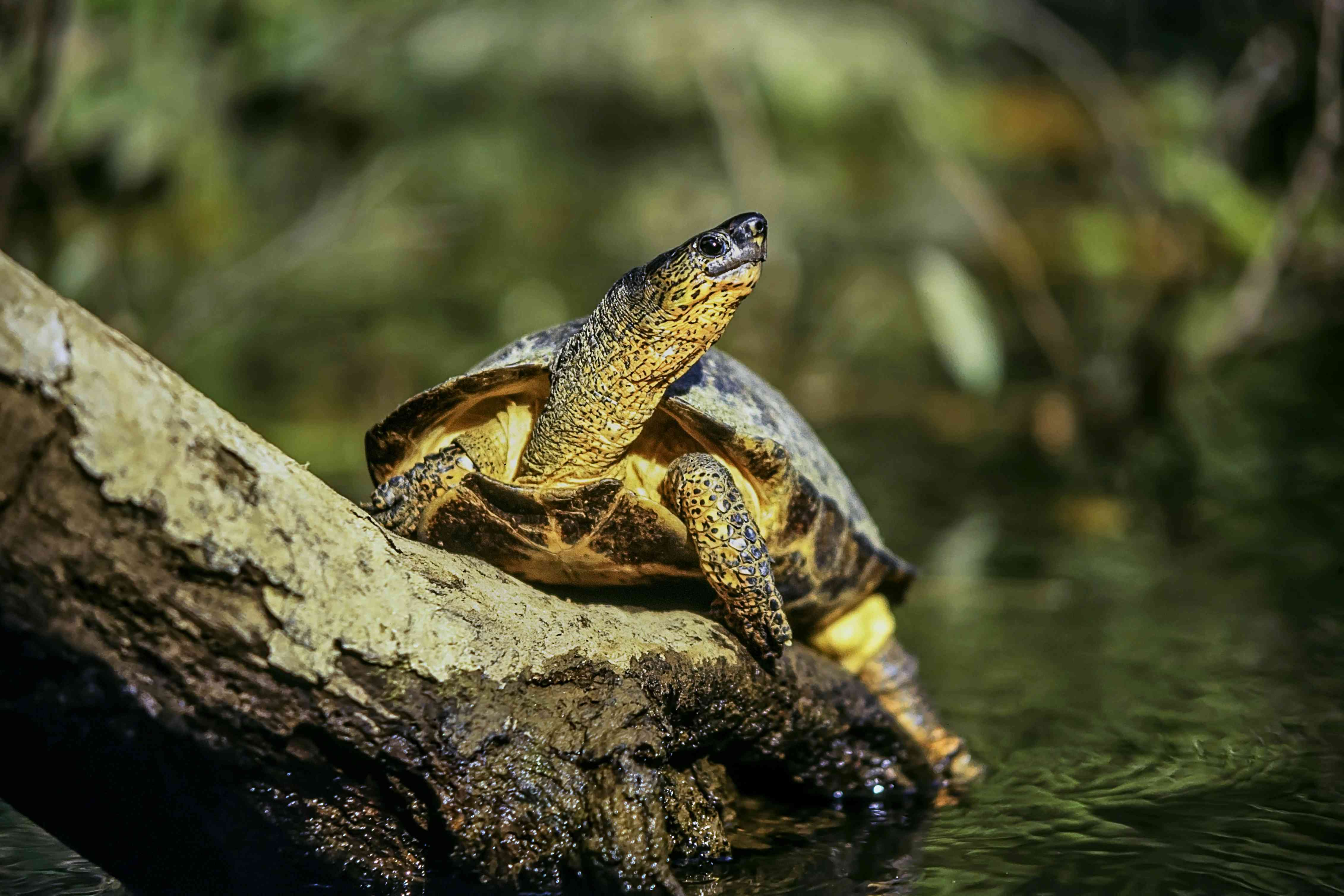 A turtle on the trunk of a tree in a water canal of Tortuguero National Park in Costa Rica. Black river turtle. Rhinoclemmys funerea.