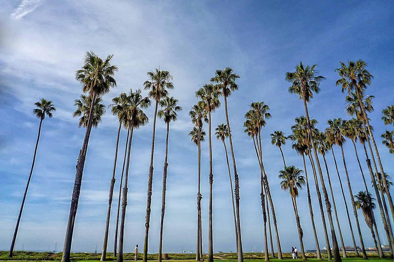 Palms in Santa Barbara