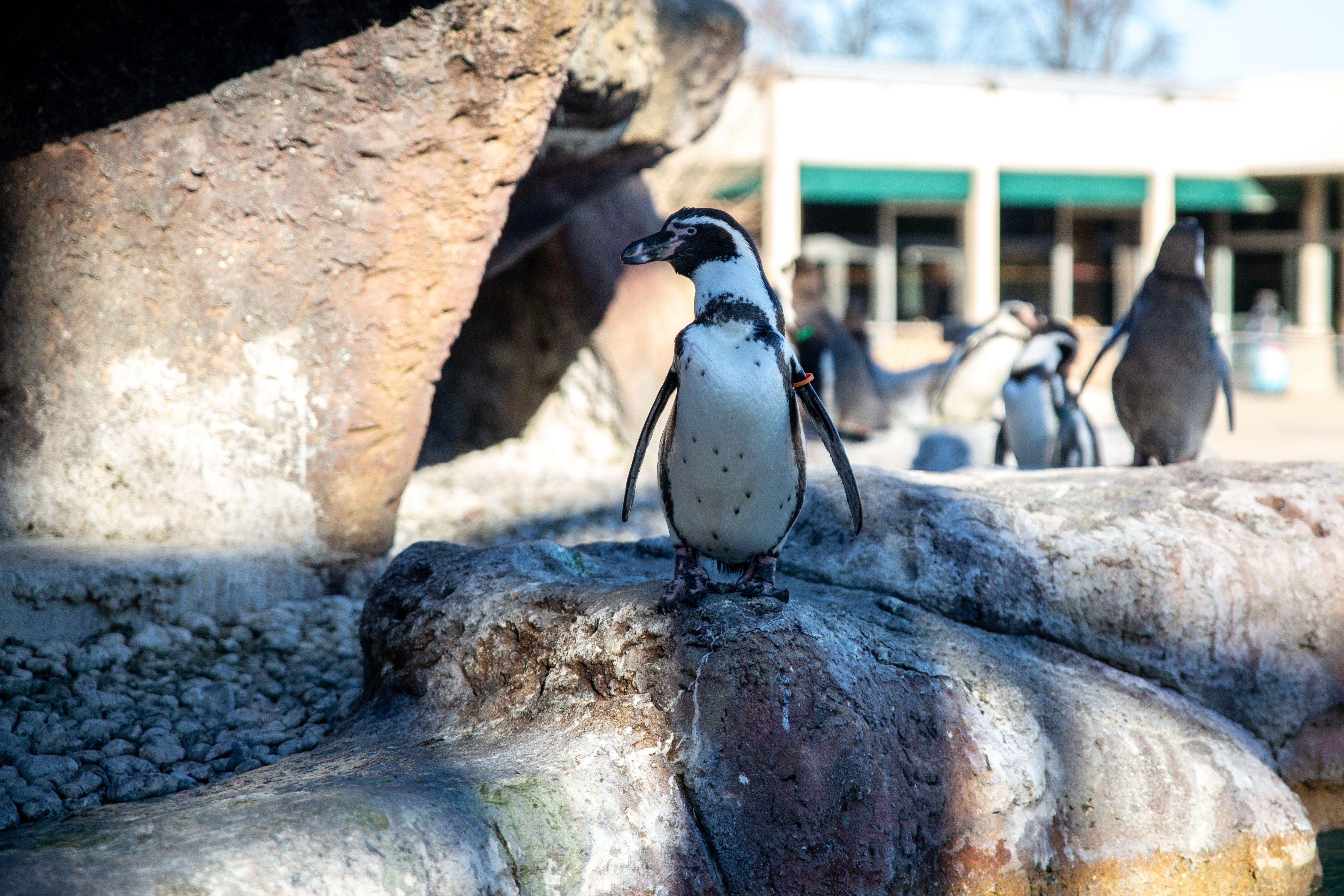 Pingüinos en el zoológico de Milwaukee