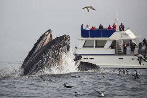 October is whale-watching season: A humpback whale lunge feeds in clear view of a whale watching boat out in Monterey Bay, California.