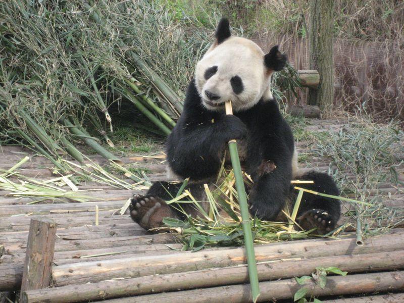 A giant panda munching away on a bamboo breakfast