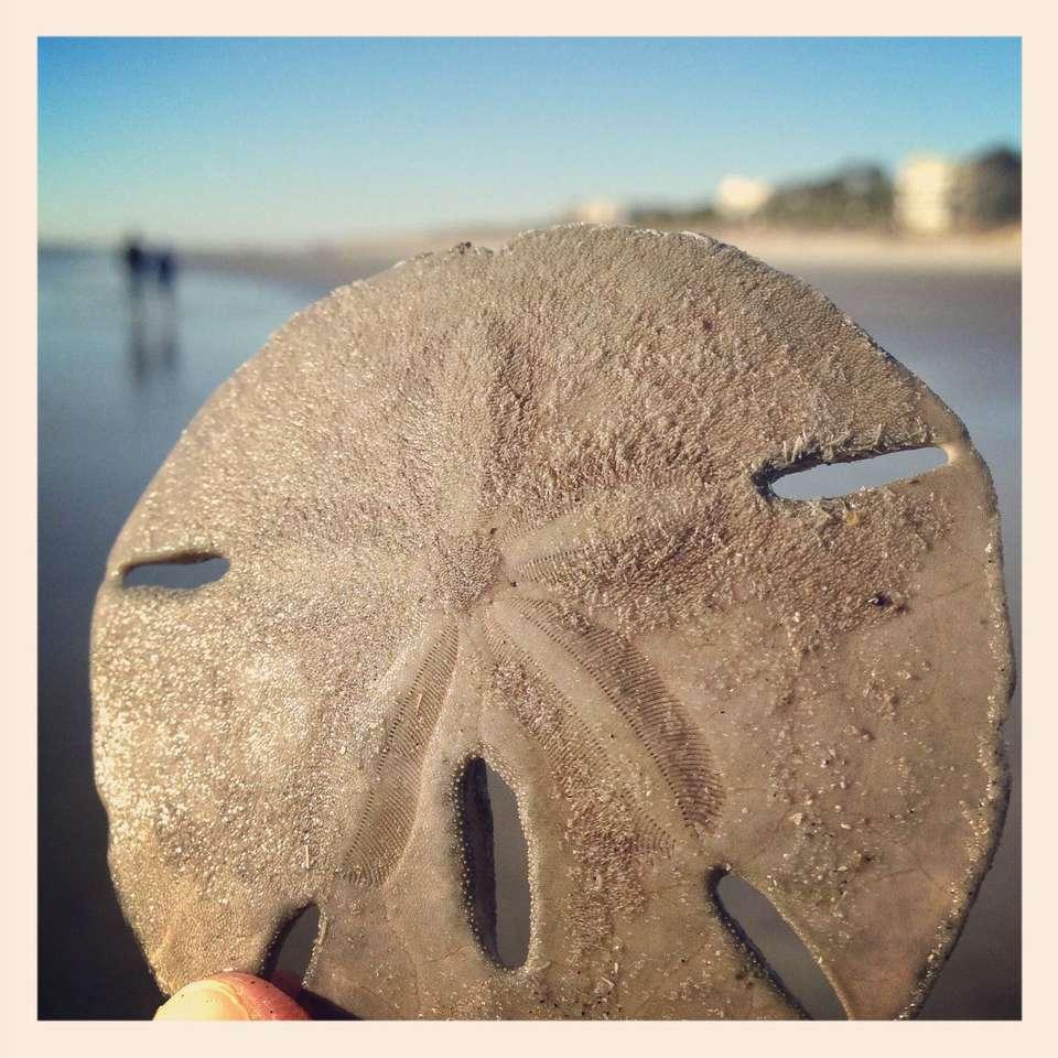 Sand dollar on Palmetto Dunes Beach