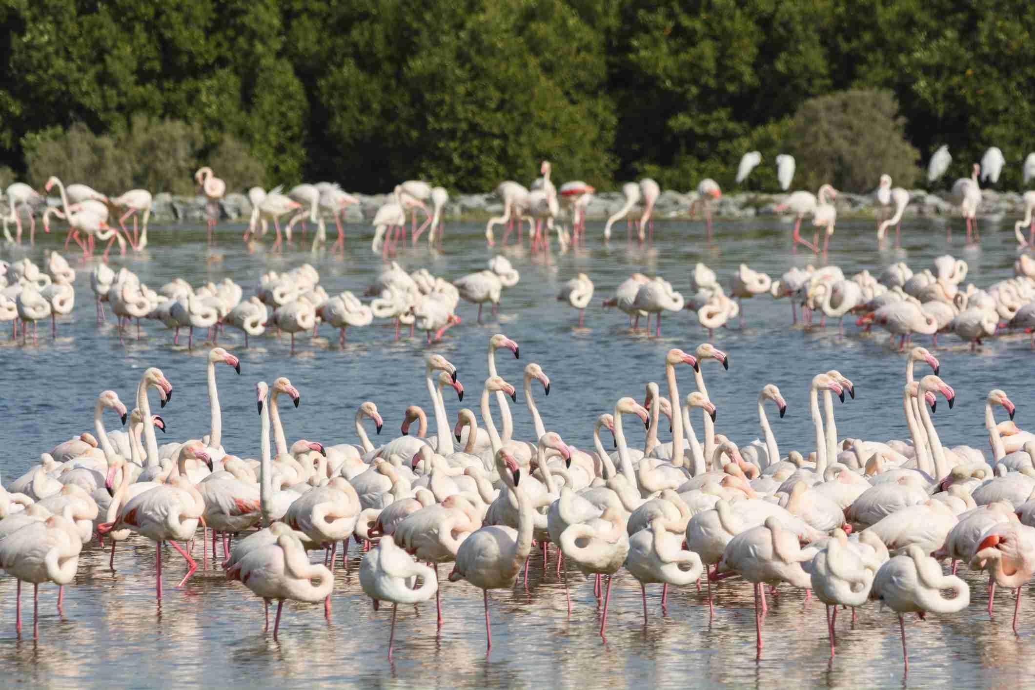 Pink flamingos at Ras al Khor wildlife bird sanctuary and wetlands in Dubai, United Arab Emirates.