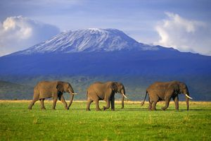 Mt. Kilimanjaro looms in the distance behind three large elephants
