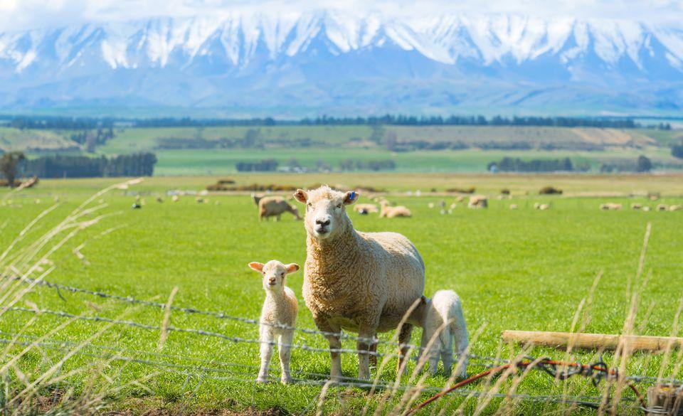 Sheep farming in Otago region of South Island of New Zealand.