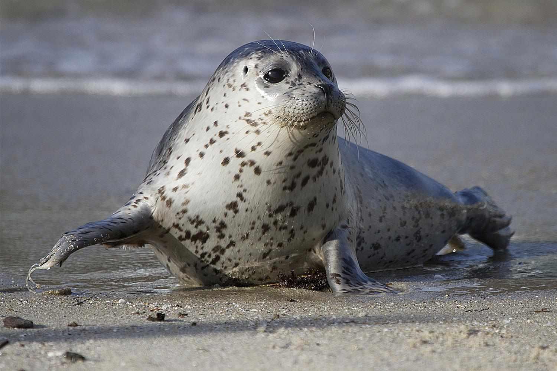 Adobable Baby Harbor Seal in La Jolla