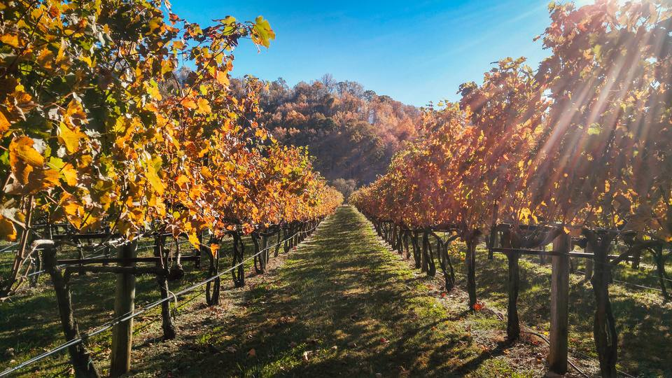 Vineyards in Virginia During Autumn