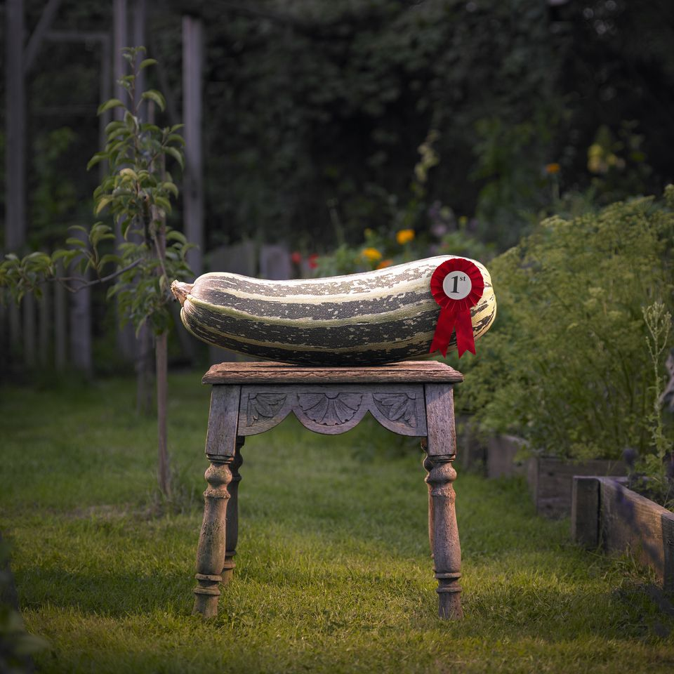 Giant prize winning Marrow.