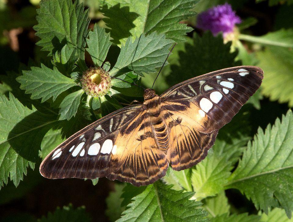 Parthenos sylvia-Clipper en Butterfly Wonderland